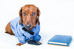 Funny dog with a blue book. Funny dog wearing glasses and a shirt on the bed royalty free stock photo