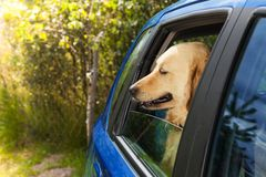 Funny dog in blue car Stock Photography