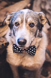 Funny dog with a bow tie stock photo