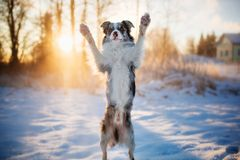 Funny dog breed Border Collie stands on its hind legs in winter royalty free stock photos