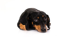 Funny dog from breed Dachshund. Funny little dog from the breed Dachshund, laid on the floor, looking upwards with curios expression on his face, isolated on Stock Photography