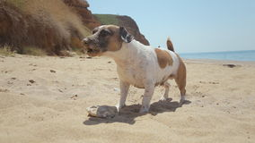 Funny dog breed Jack Russell plays in the sand stock video