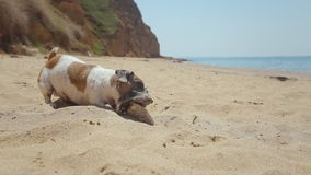 Funny dog breed Jack Russell plays in the sand stock footage