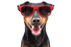Funny dog breed Jagdterrier in a red sunglasses. Isolated on white background royalty free stock photos