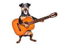 Funny dog breed Jagdterrier standing with acoustic guitar stock image