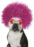 Funny Dog, Bulldog Afro, Isolated stock photos