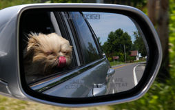 Funny dog in a car looking out the window Stock Image