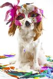 Funny dog in carnival mask.. Party dog in studio. Cavalier king charles spaniel dog with colorful feathers purple mask and white s royalty free stock photos