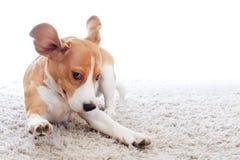 Funny dog on carpet. On white background. Crazy beagle close-up. Jumping dog over white backdrop royalty free stock photo