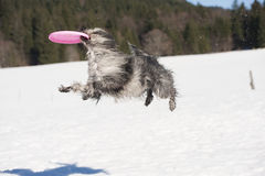 Funny dog catch flying disc in the air Stock Photography