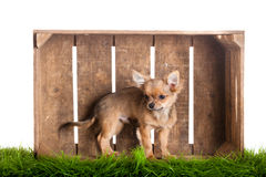 Funny dog chihuahua in box isolated on white background Royalty Free Stock Image