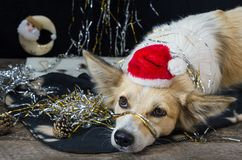 Funny dog on new year`s Eve Stock Photos
