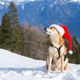 Funny dog in Christmas hat Royalty Free Stock Photo