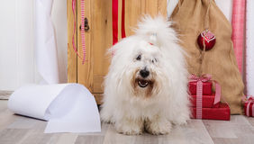 Funny dog at christmas. Purebred Coton de Tulear with wrapping p Stock Photo