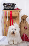 Funny dog at christmas. Purebred Coton de Tulear with wrapping p Stock Image