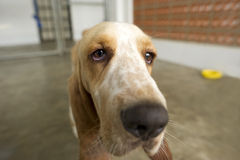 Funny Dog Closeup. Is a face shot of a big old basset hound looking curiuosly into the camera stock images