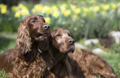 Funny dog couple Stock Images