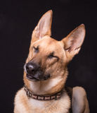 Funny Dog. Cute portrait of a German Shepherd with it's head tilted and eyes closed against black backdrop Stock Photos