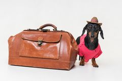 Funny dog Dachshund breed, black and tan, dressed up as a tourist with vintage bag and a hat, on gray background royalty free stock images