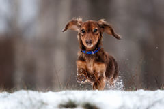 Funny dog dachshund  jumps up Royalty Free Stock Photos