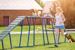 Dog go down on dog walk obstacle in agility trial. Funny dog descending on dog walk obstacle in agility trial royalty free stock images