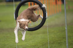Funny dog. Dog doing funny poses in the air. Cute dog Border Collie turn when jump through agility obstacle hoop. He is very agile and skillful Royalty Free Stock Photography