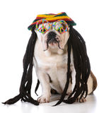 Funny dog. With dreadlock wig and peace glasses on white background Stock Images