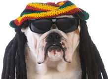 Funny dog. With dreadlock wig on white background Royalty Free Stock Photos