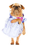 Funny dog in a dress Stock Images