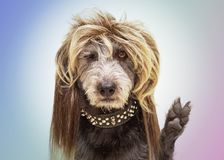 Funny Rocker Dog Paw in Peace Sign. Funny dog dressed as a punk rock star wearing a mullet wig and raising paw with fingers in a peace sign royalty free stock photos