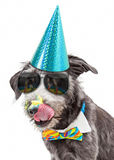 Funny Dog Eating Birthday Cake Royalty Free Stock Image