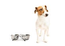 Funny dog eating food Stock Image