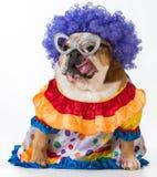 Funny dog. English bulldog dressed up like a clown on white background Stock Photos