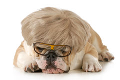 Funny dog Royalty Free Stock Images