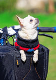 Funny dog enjoying trip in bicycle bag Royalty Free Stock Images