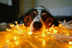 Funny dog face with christmas lights stock photo
