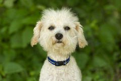 Funny Dog Face. Is a cute white fluffy puppy dog with a funny expression on its face looking straight at you Royalty Free Stock Images