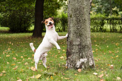 Funny dog at fall park. Jack Russell Terrier standing near tree and smiling Stock Photo