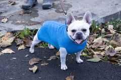 Funny dog with in fashion sweater. A funny cute dog sticking out it's tongue in blue sweater Stock Photography