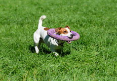 Funny dog fetching huge toy around its neck as collar Royalty Free Stock Photo