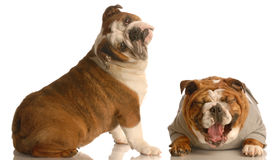 Funny dog fight royalty free stock image