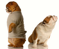 Funny dog fight. One english bulldog standing with his back to the other who is sitting with her nose up - as though in an argument Royalty Free Stock Photos
