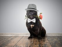 Funny dog with a flower in his mouth. French bulldog in a hat with a rose in one`s teeth Royalty Free Stock Photography
