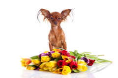 Funny dog and fowers isolated on white background Royalty Free Stock Image