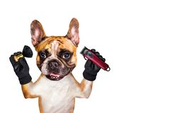 Funny dog ginger french bulldog barber groomer hold clipper and brush. Man isolated on white background. Funny dog ginger french bulldog barber groomer hold royalty free stock images