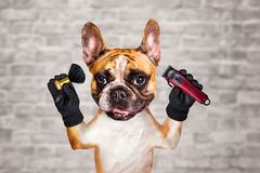 Funny dog ginger french bulldog barber groomer hold clipper and brush. Man on white brick wall background. Funny dog ginger french bulldog barber groomer hold royalty free stock photos