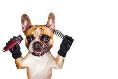 Funny dog ginger french bulldog barber groomer hold clipper and comb. Man isolated on white background. Funny dog ginger french bulldog barber groomer hold royalty free stock image