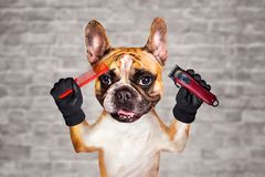 Funny dog ginger french bulldog barber groomer hold clipper and comb. Man on white brick wall background. Funny dog ginger french bulldog barber groomer hold stock image