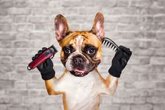 Funny dog ginger french bulldog barber groomer hold clipper and comb. Man on white brick wall background. Funny dog ginger french bulldog barber groomer hold stock photography