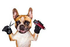 Funny dog ginger french bulldog barber groomer hold clipper and scissors. Man isolated on white background. Funny dog ginger french bulldog barber groomer hold stock photos